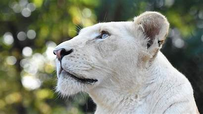Lion 4k Head Wallpapers Animals Laptop 1080p