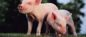 Swine Center