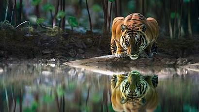Tiger 4k Cat Water Wallpapers Eyes Tigre