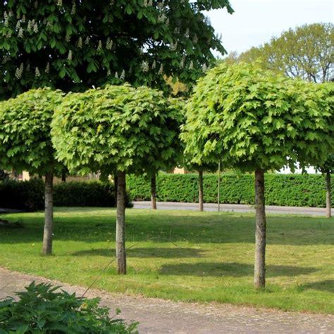 acer platanoides globosum acer globosum caragh nurseries