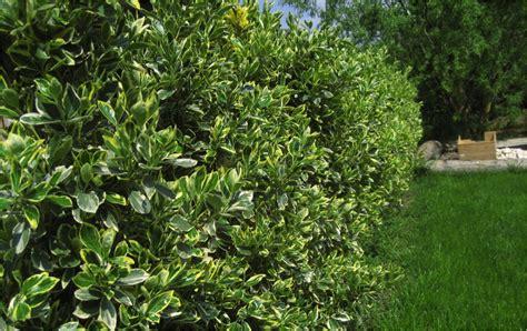 plants   great hedges homespree
