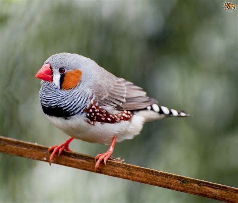 5 interesting facts about zebra finches hayden s animal