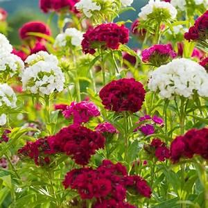 Oeillet De Poete : oeillets de po te vari s plantes et jardins ~ Melissatoandfro.com Idées de Décoration