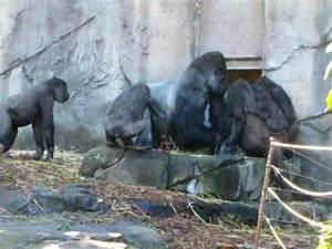 Angry Gorillas Fighting | www.pixshark.com - Images ...