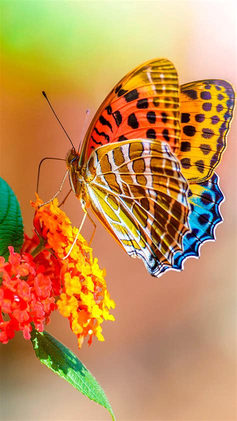 Butterfly Home Screen Wallpaper Images by Free Butterfly Iphone Wallpaper Wallpaper Wiki