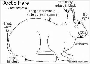 arctic hare printout enchantedlearningcom With arctic fox diagram