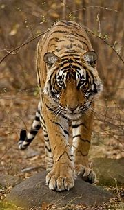 Young male Bengal tiger walking in the forest track in ...