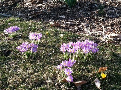 early blooms in 2012 flower bulb