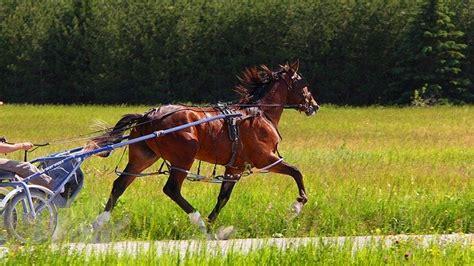 photo animal horse standardbred brown
