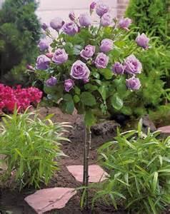 Rosier Miniature Rose