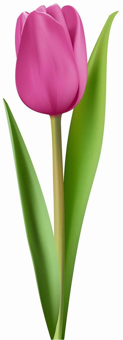 Tulip Clip Clipart Flowers Transparent Planta Flor