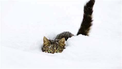 snow cats terralonginqua snow cat animals wallpaper