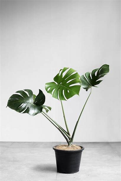 Indoor Plants Leaves Monstera Tall Deliciosa Philippines