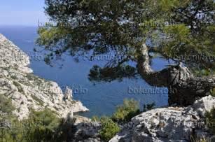 Pinus Halepensis Aleppo Pine