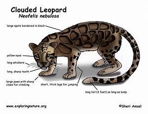 Leopard  Clouded