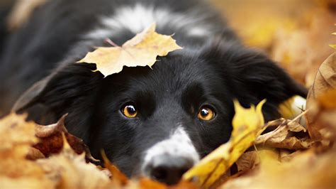 Fall Backgrounds Dogs by Images Border Collie Dogs Foliage Autumn Snout Animal Staring