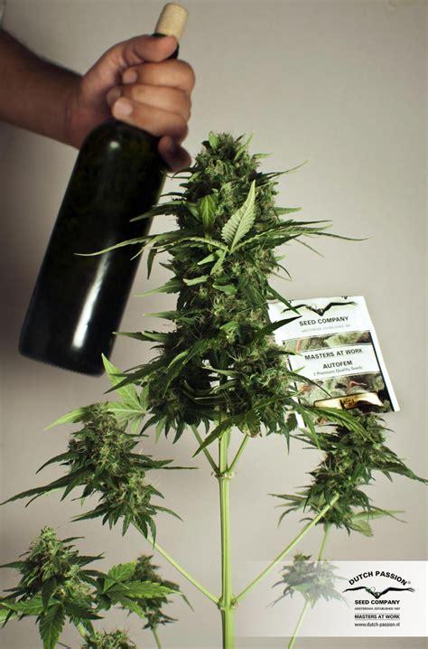 taiga 174 graines de cannabis autofloraison achat s 233 curis 233 chez