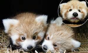panda born bears teddy cubs box zoo nest emerge mail