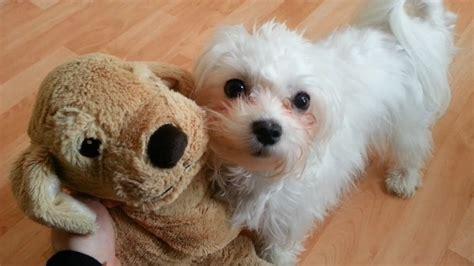 Cute Little Maltese Dog Puppy Luna And Her Friend Original You