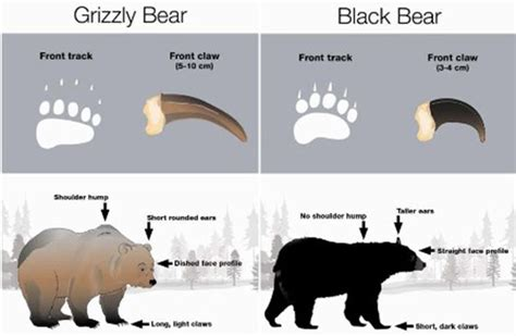 Polar Bear and Human Hand Claw