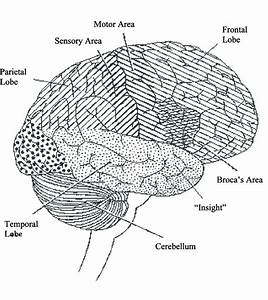 35 Lateral View Of The Brain Diagram