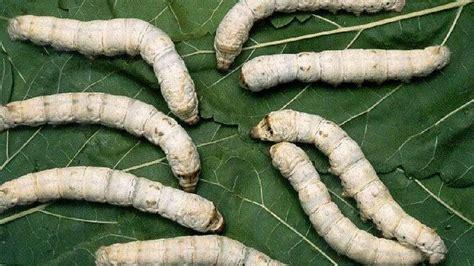 quince locos de la seda en busca de los ultimos gusanos