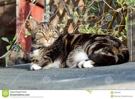 tabby cat shedding tabby cat on shed roof stock photo image 46951897