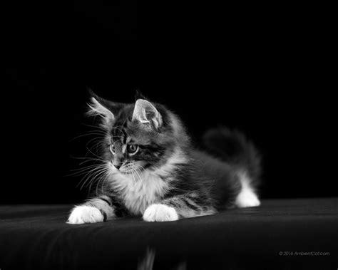bureau ecran noir noir et blanc photos pour fonds d 39 écran chats chatons