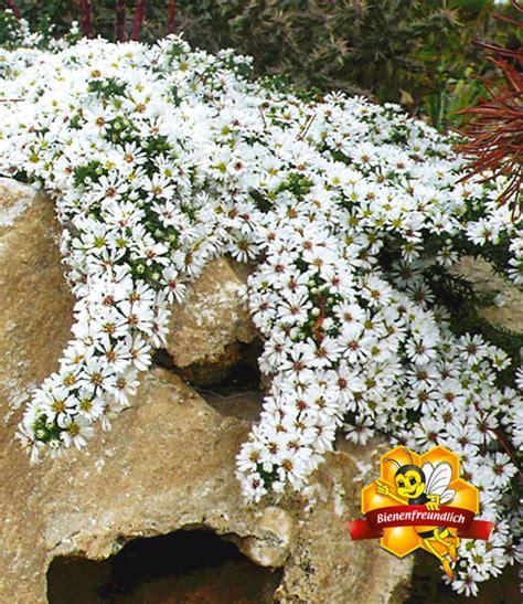 pflanzen für steinmauer steinaster snowflurry polsterstauden bei baldur garten