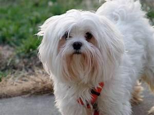 Hund In Mietwohnung Trotz Verbot : malteser rassebeschreibung wesen haltung und pflege ~ Lizthompson.info Haus und Dekorationen