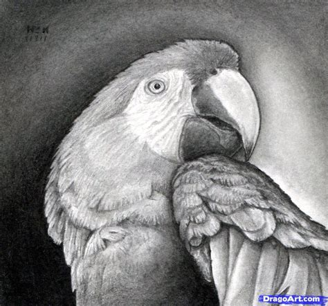 draw  realistic parrot scarlet macaw step