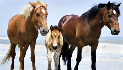 horses wild outer banks beach horse carolina north herd ponies parents nc baby babies corolla things its animals into pony