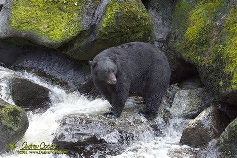 black bear fishing  darker view