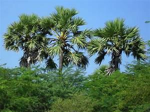 palmtreedepot   Retailer of Sabal Palm Tree at Carolina ...