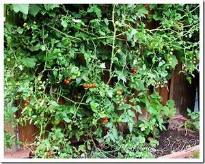 Pferdemist Für Tomaten : rosengarten erfolge mit pferdemist kompost 3 ~ Watch28wear.com Haus und Dekorationen