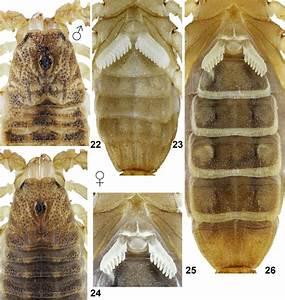 Chaneke Hofereki Sp  N  Figures 22 U201323  Holotype Male