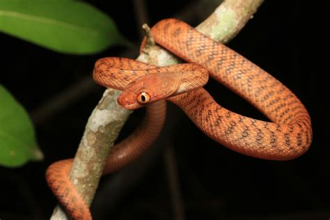 Brown Tree Snake - South East Snake Catcher - Gold Coast