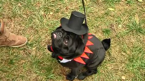halloween  pugs dress    cutest outfits  ukraine dog show video