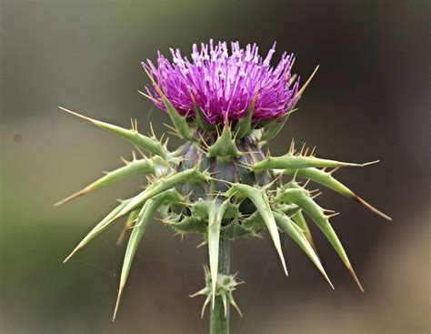 The Worlds Best Photos Of Milkthistle And Thistle