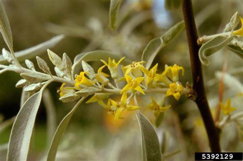do olive trees invasive roots russian olive elaeagnus angustifolia rhamnales elaeagnaceae 5392129