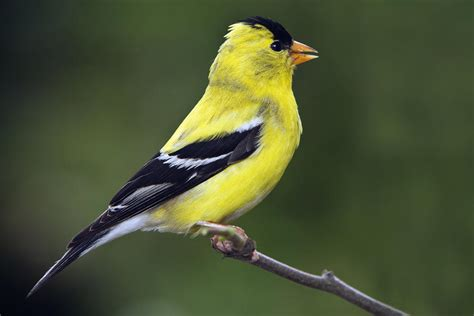 american golden finch by william lee