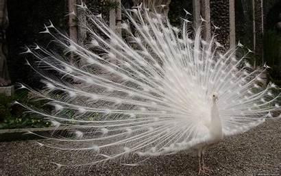 Peacock Wallpapers Bird Desktop 4k Feather 1920