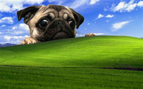 windows xp pug dog wallpapers hd desktop  mobile