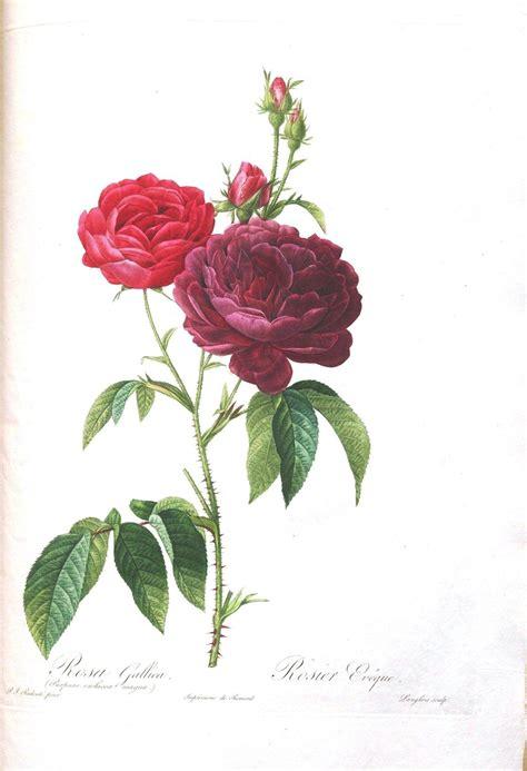 botany flowers botanical flower les roses 29 botanical art prints pinterest botanical flowers prints