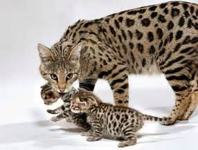 savanna cats cats animals wiki pictures stories