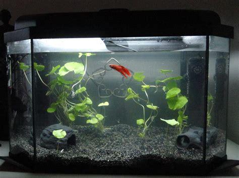 aquarium pour betta splendens best betta aquariums studio design gallery best design