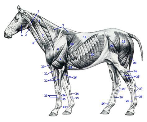 eselskelett  muskulatur donkey skeletal  muscles