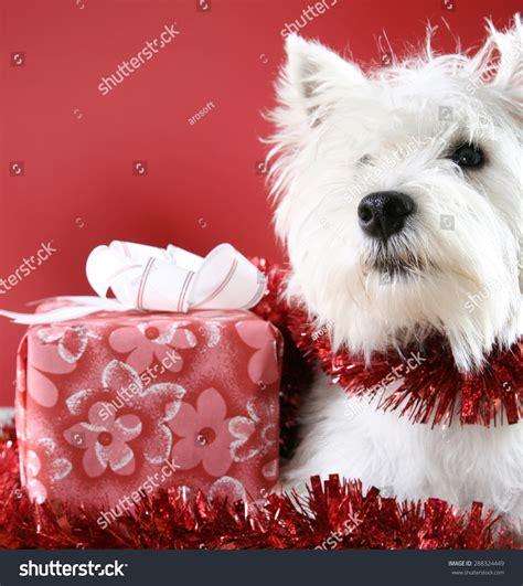 Terrier Dressed As Santa Claus Stock Photo White Puppy Dressed In Santa Claus Costume Stock Photo