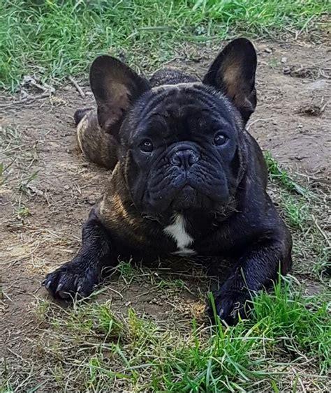 franzoesische bulldogge vereine zuechter vdhde