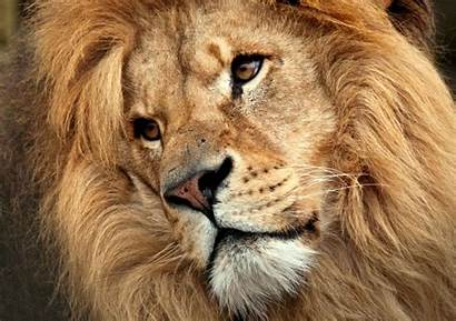 Lion Head Close Male Face Jungle King
